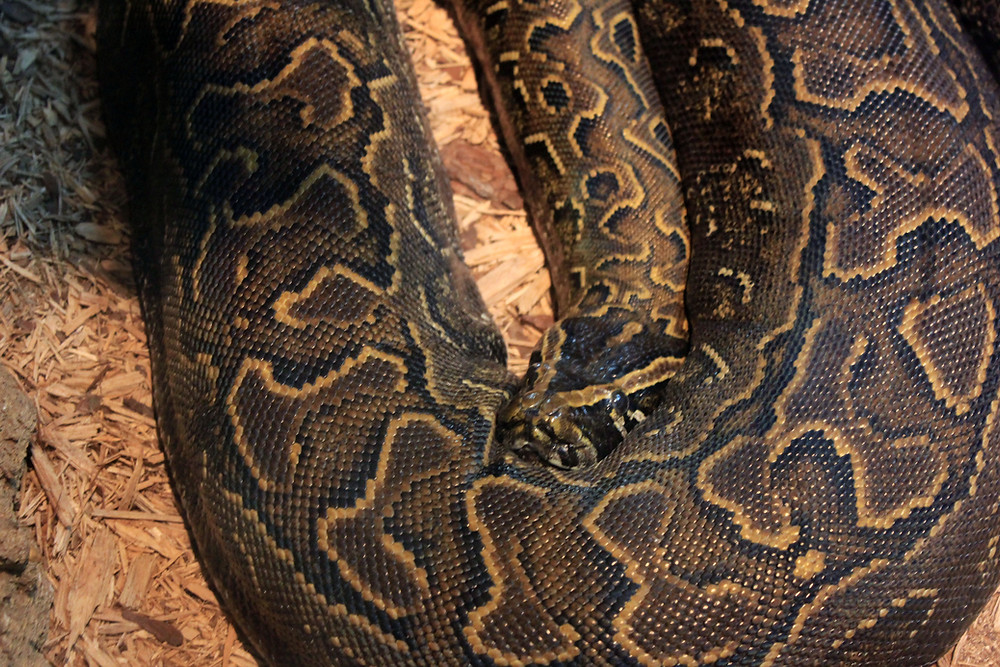 Public domain photo of the African rock python.