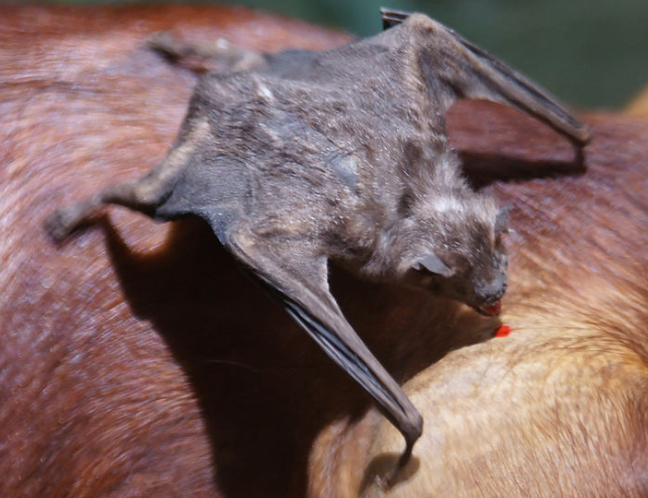 Photo of a vampire bat feeding, image and attribution in link.
