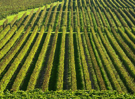 Extreme weather harming French vineyards