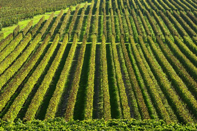 Vineyards in Bordeaux