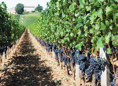 Bordeaux readies to plant southern varieties in face of climate crisis