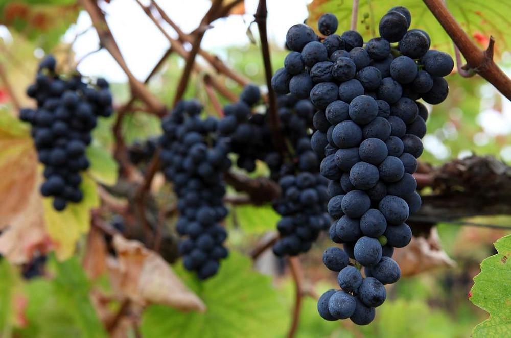 Touriga Nacional grapes, Portugal