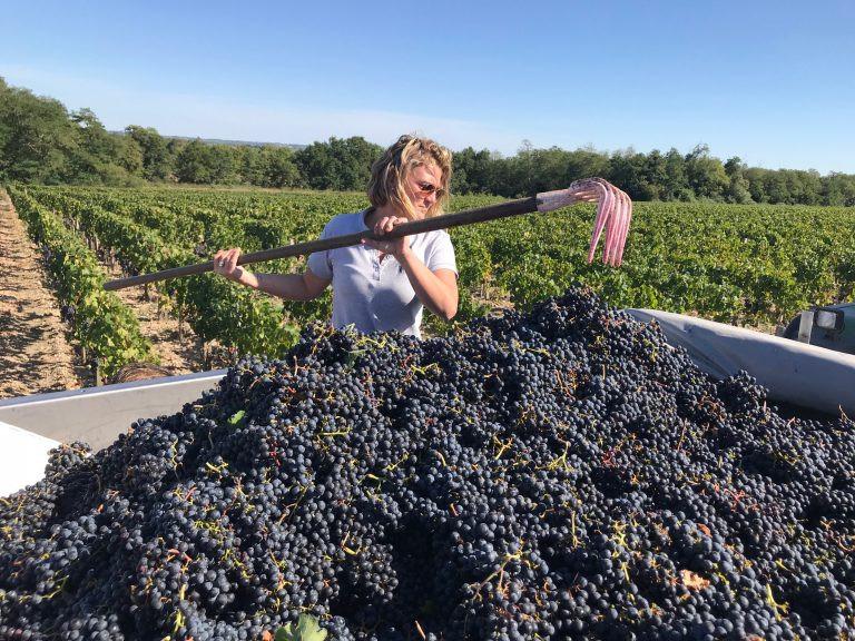 Merlot harvest at Leoville Barton