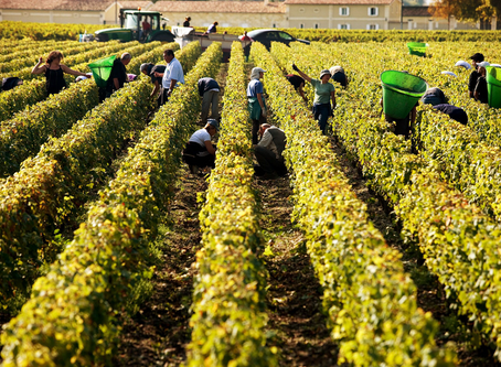 How the Bordeaux 2019 harvest is looking now