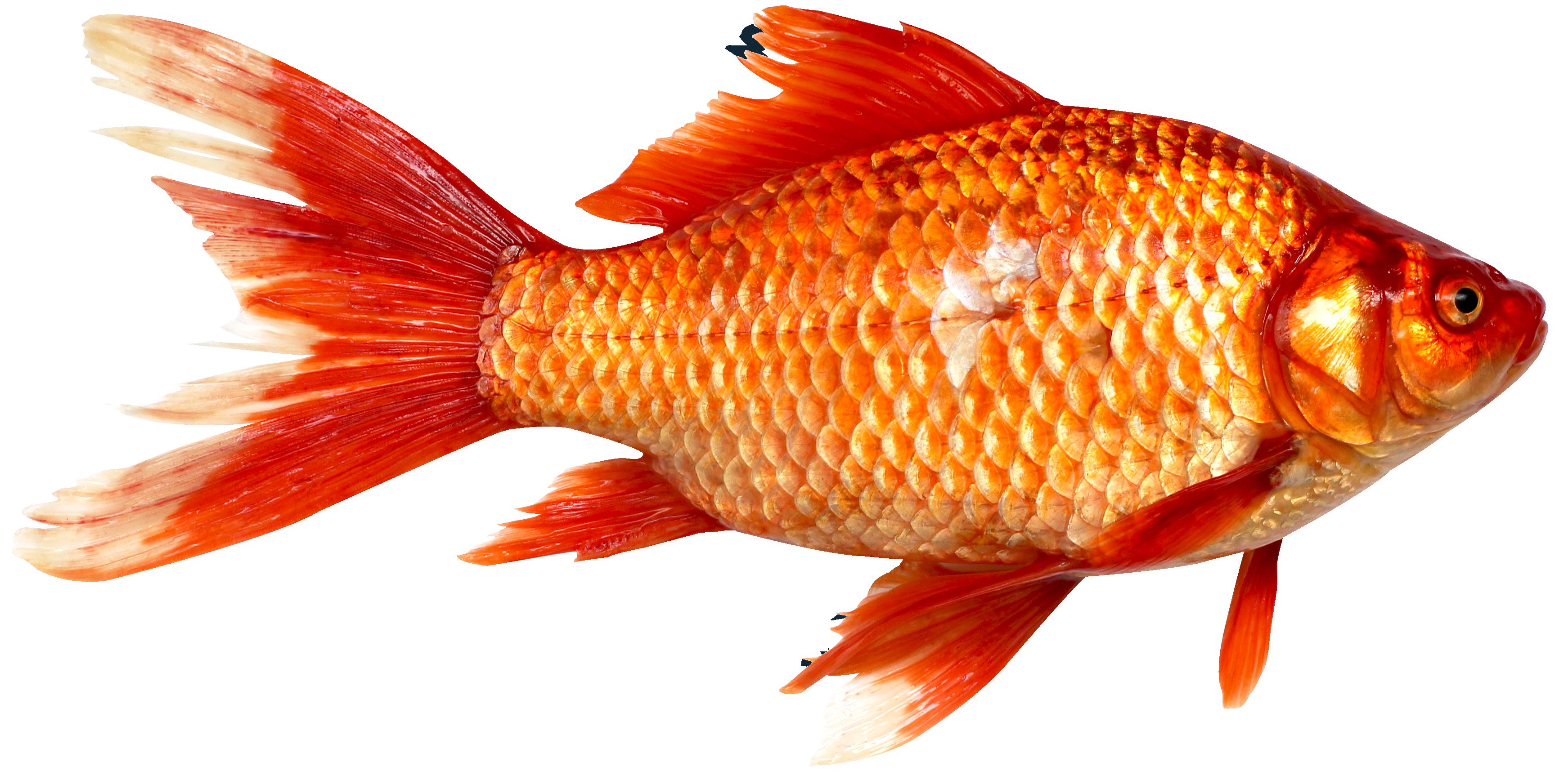Fish-PNG-image