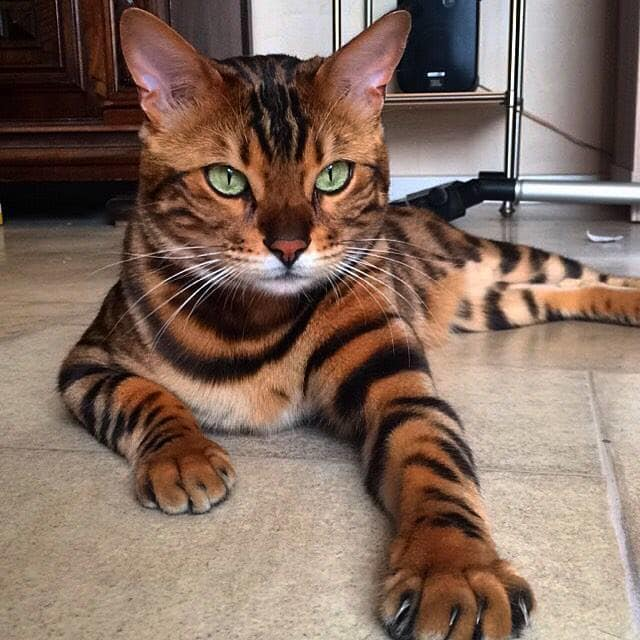 Bengal Cat With Purrfect Markings (25)