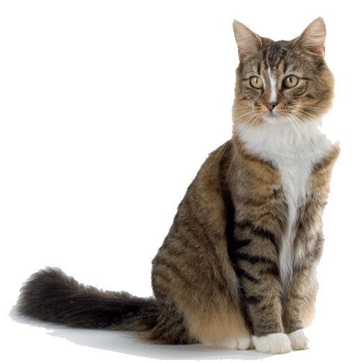 brown-white-cat-png-4