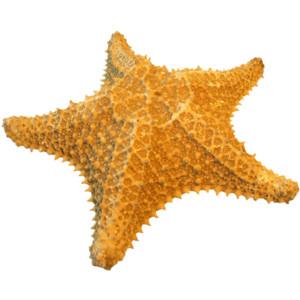 starfish-png-25
