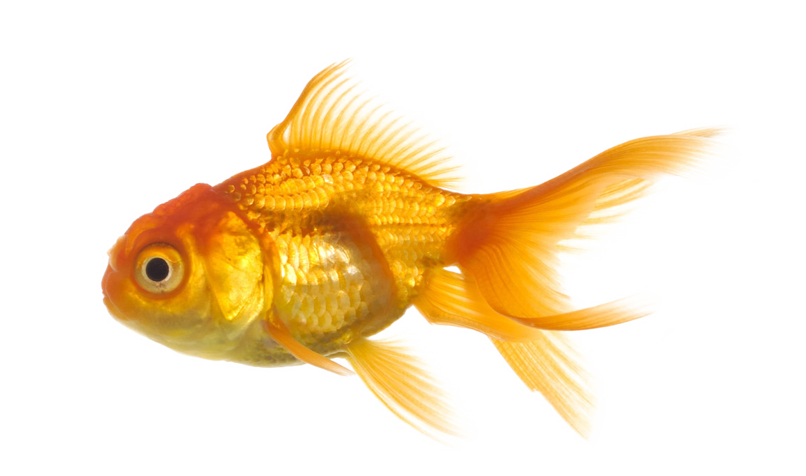 Real-Fish-Transparent-Background