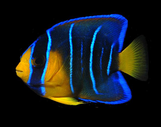 juv-angelfish_zps0c18d2b1