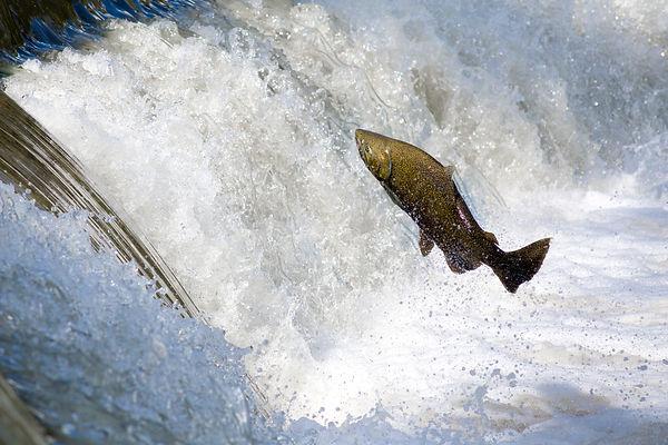 Salmon_Creative Commons.jpg
