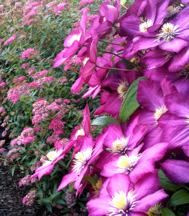 Clematis and Spirea Anthony Waterer