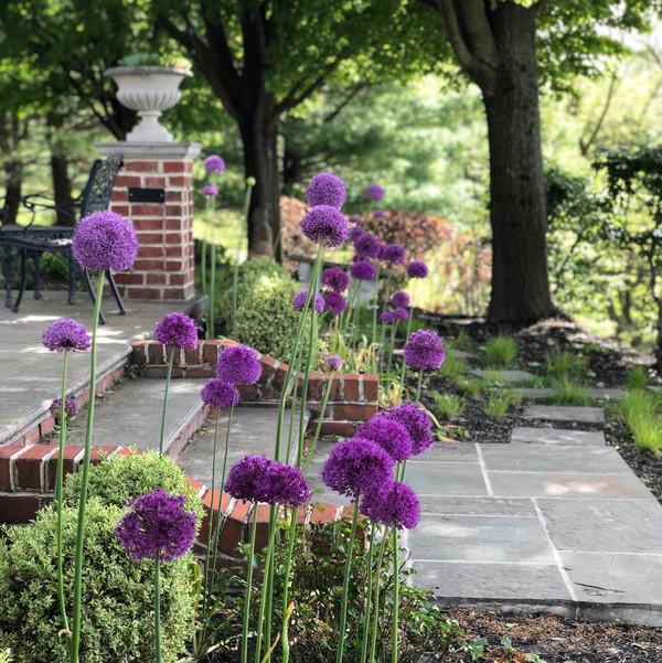 Alliums - Ruth Consoli Design
