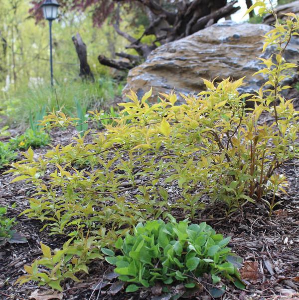 Diervilla lonicera 'Copper' or Copper Northern Bush Honeysuckle- Ruth Consoli Design.JPG