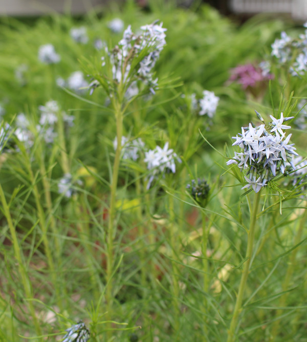 Amsonia hubrichtii or Bluestar, a native perennial