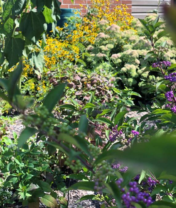 American Purple Beautyberry, Monarda, Sedum Autumn Joy, Rudbeckia and Rainbarrel in the native plant garden - Ruth Consoli Design