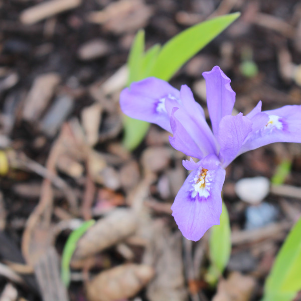 Iris cristata - Ruth Consoli Design