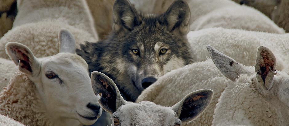 Lobos ou Ovelhas