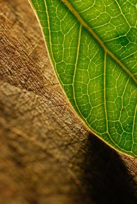 Munish Khanna Art _DSC0026 leaf wix.JPG