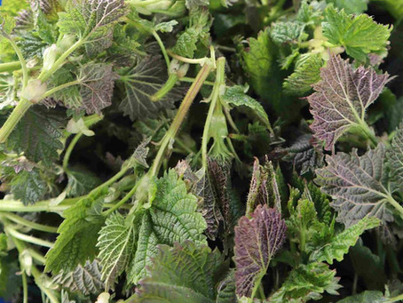 Nettles (Preparation and Soups)