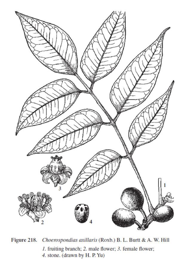 Choerospondias Axillaris illustration