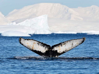 Whales in Antarctica