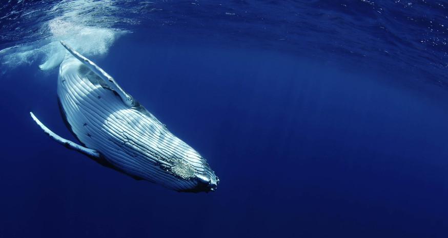 Barnacleswhale.jpg