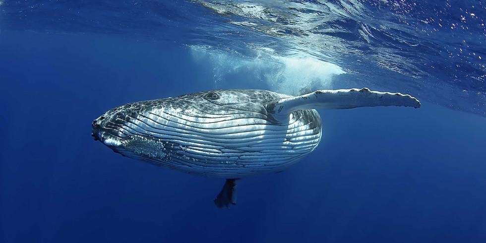 Whale Swim Tonga 2022 Dates TBC
