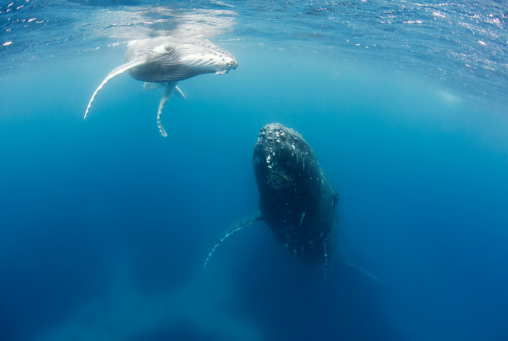 Mother and Calf encounter during whale swim in Ha'apai Tonga.