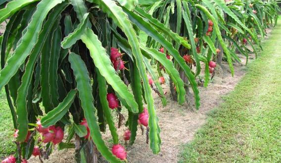 dragon-fruit-pitaya-431.jpeg