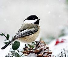 winter_chickadee.jpg