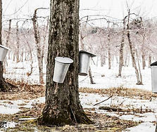 tapping-maple-trees.jpg