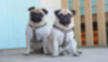 Paul Land Photography, Posh Pugs pic