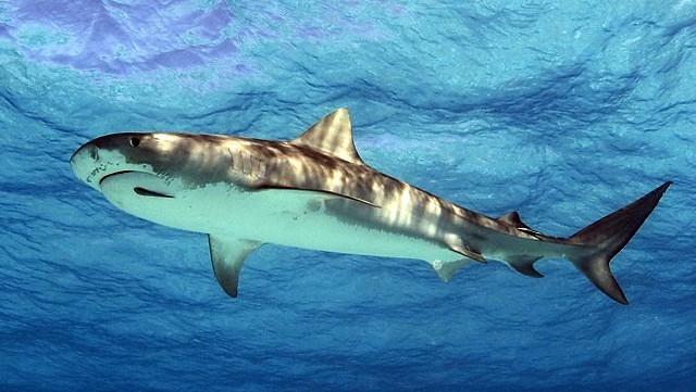 SharkTigerWD.jpg