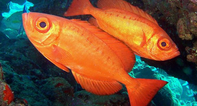 BigeyeFish.jpg