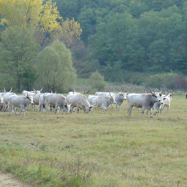 Herder met Hongaarse grijze runderen (szürkemarha). In dit gebied lopen herders met schapen en runderen door de natuur.