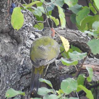 Groene specht (zöld küllő) op het terrrein in een van de pruimenbomen
