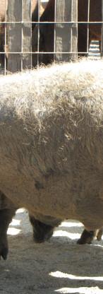 Hortobagy Open lucht museum Mangalica varkens met vacht