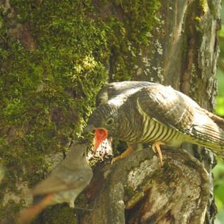 Koekoeksjong (kakukk) wordt gevoerd door roodstaart (rozsdá farkú) (op het terrein)