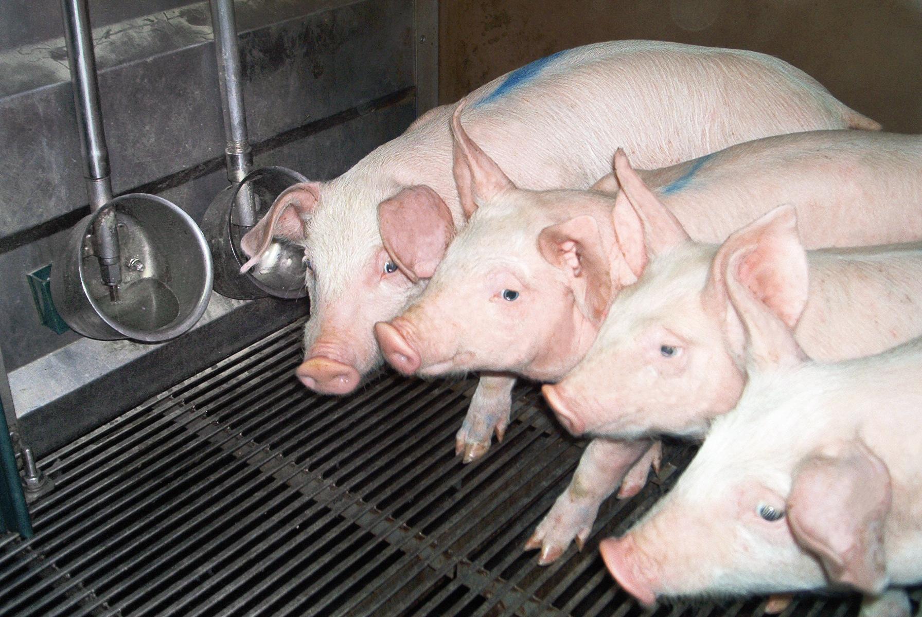 adapatoare porci