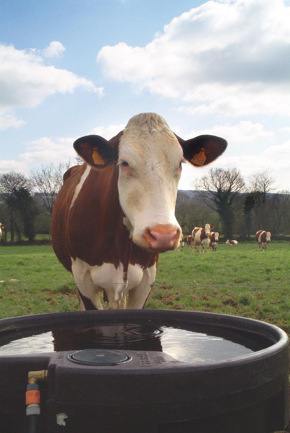 Adapatoare vaci