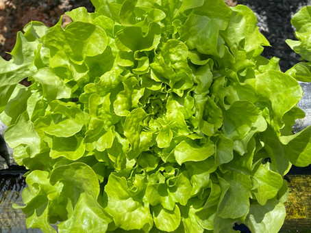 Lettuce Chat 05/13/2020  It's All About The Water