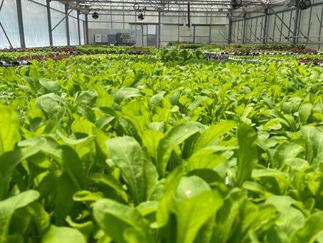 Lettuce Chat 10/04/2020, Arugula