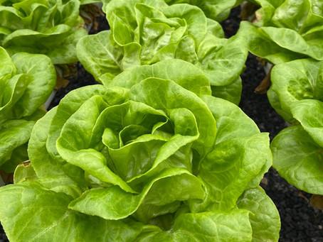 Lettuce Chat 5/22/2020  Living Lettuce