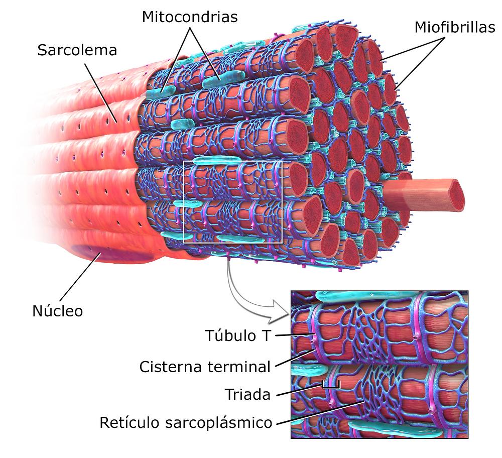 Aquí observamos la complejidad de una fibra muscular.