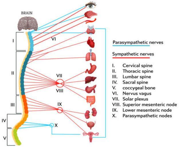 Cada órgano y víscera está enervado en nuestra columna vertebral.