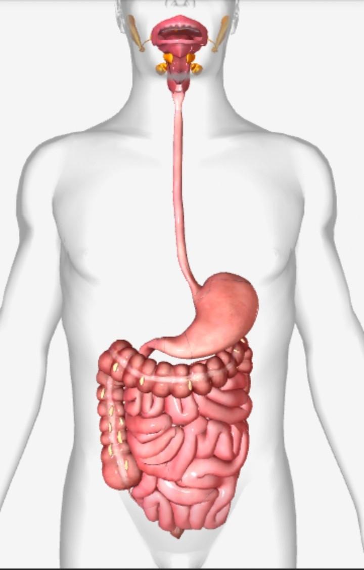 Nuestro sistema digestivo comienza en la boca y termina en el recto.