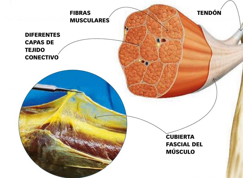 Los músculos están rodeados de fascia; por dentro y por fuera.