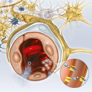La barrera hematoencefálica mantiene nuestro encéfalo libre de toxinas.