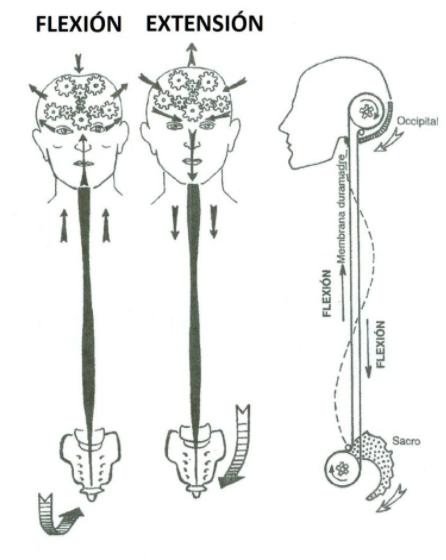 El movimiento de flexión y extensión dan movilidad dan movilidad a la estructura craneosacral.